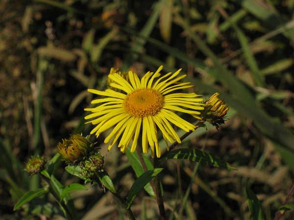 サクラオグルマ 頭花